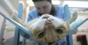 猫咪绝育注意事项
