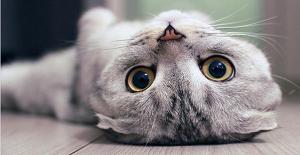 猫瘟的临床症状有哪些_猫咪得了猫瘟初期症状_猫瘟是怎么引起的