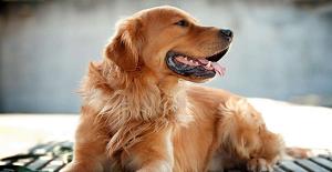 狗狗感冒常用药